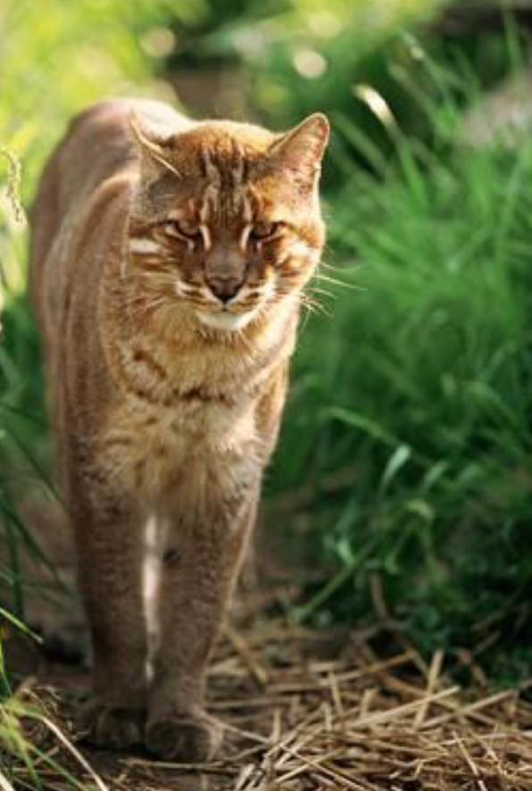 Asian Golden Cat (With images) Small wild cats, Wild