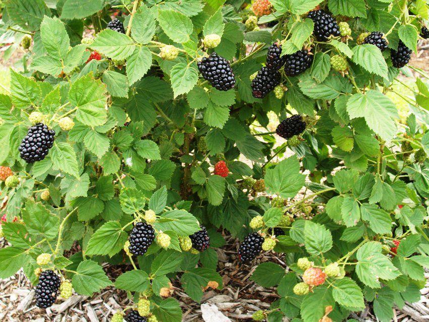 Blackberry Photos Ii Owassoblackberryfarm Com Owasso Tree And Berry Farm Owasso Oklahoma Blackberry Picking Berries Owasso