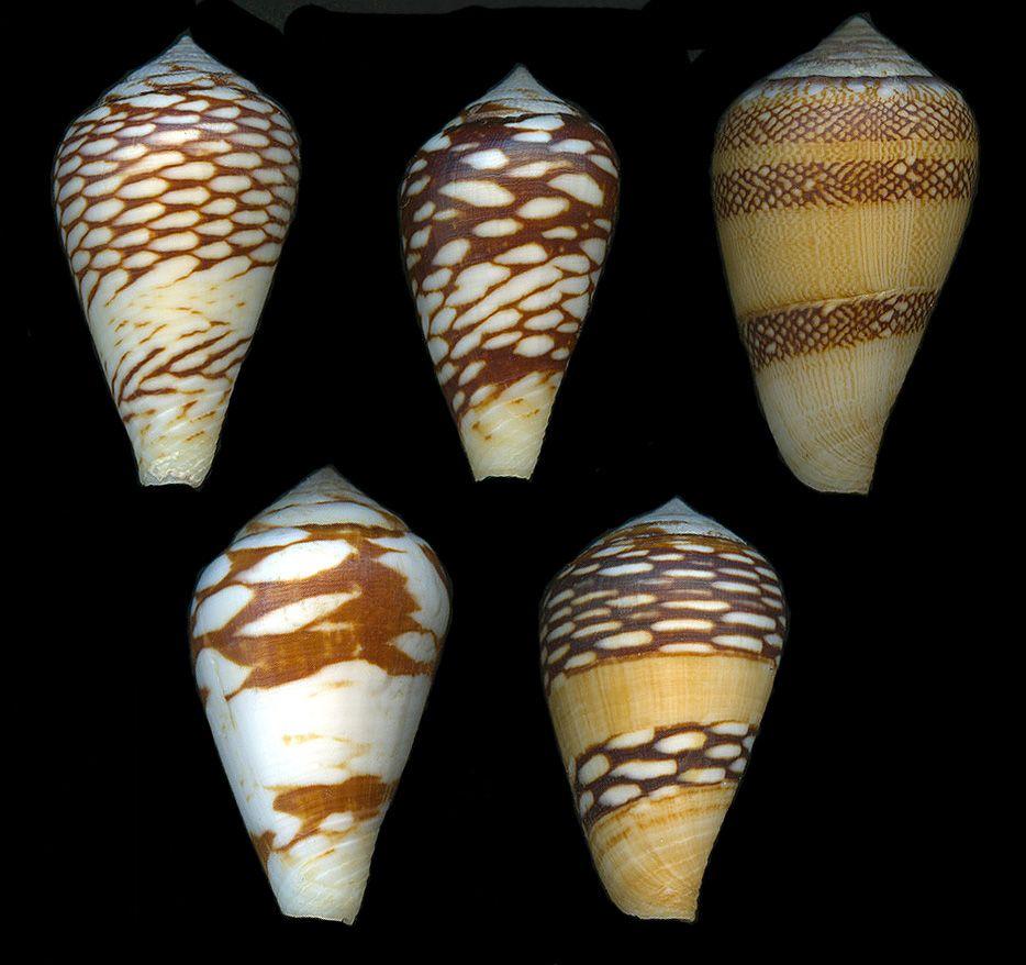 Conus mercator Linneaus 1758 - Trader Cone   (Image Paul Kersten) Distribution: Senegal   Maximum size: 45 mm