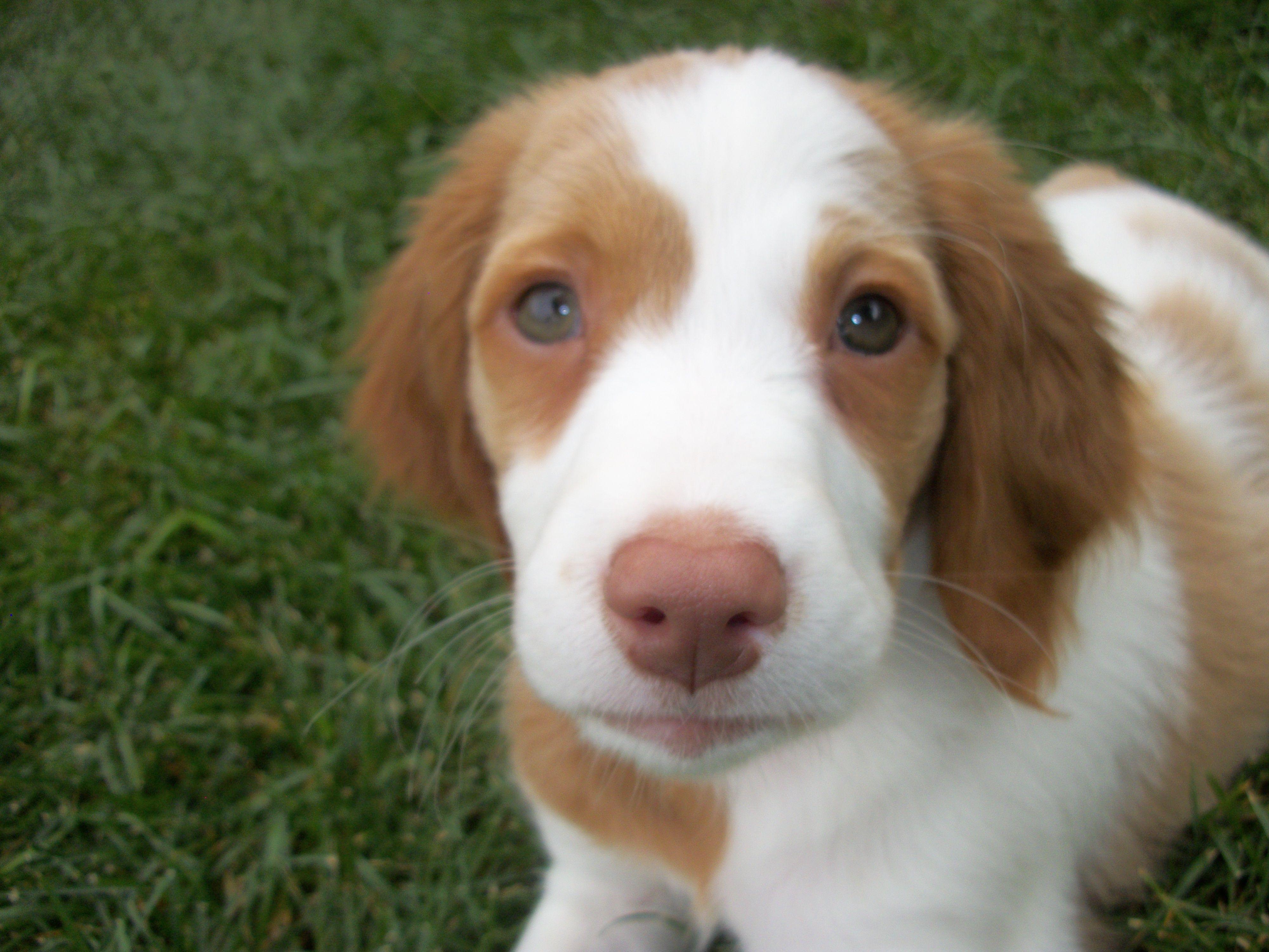 brittany spaniel puppy | Hallee girl | Pinterest
