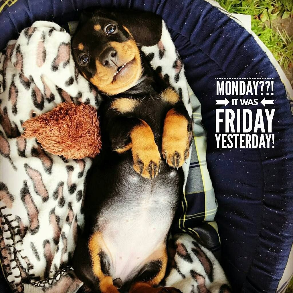 10 Likes 2 Comments Dachshund Quotes Pictures