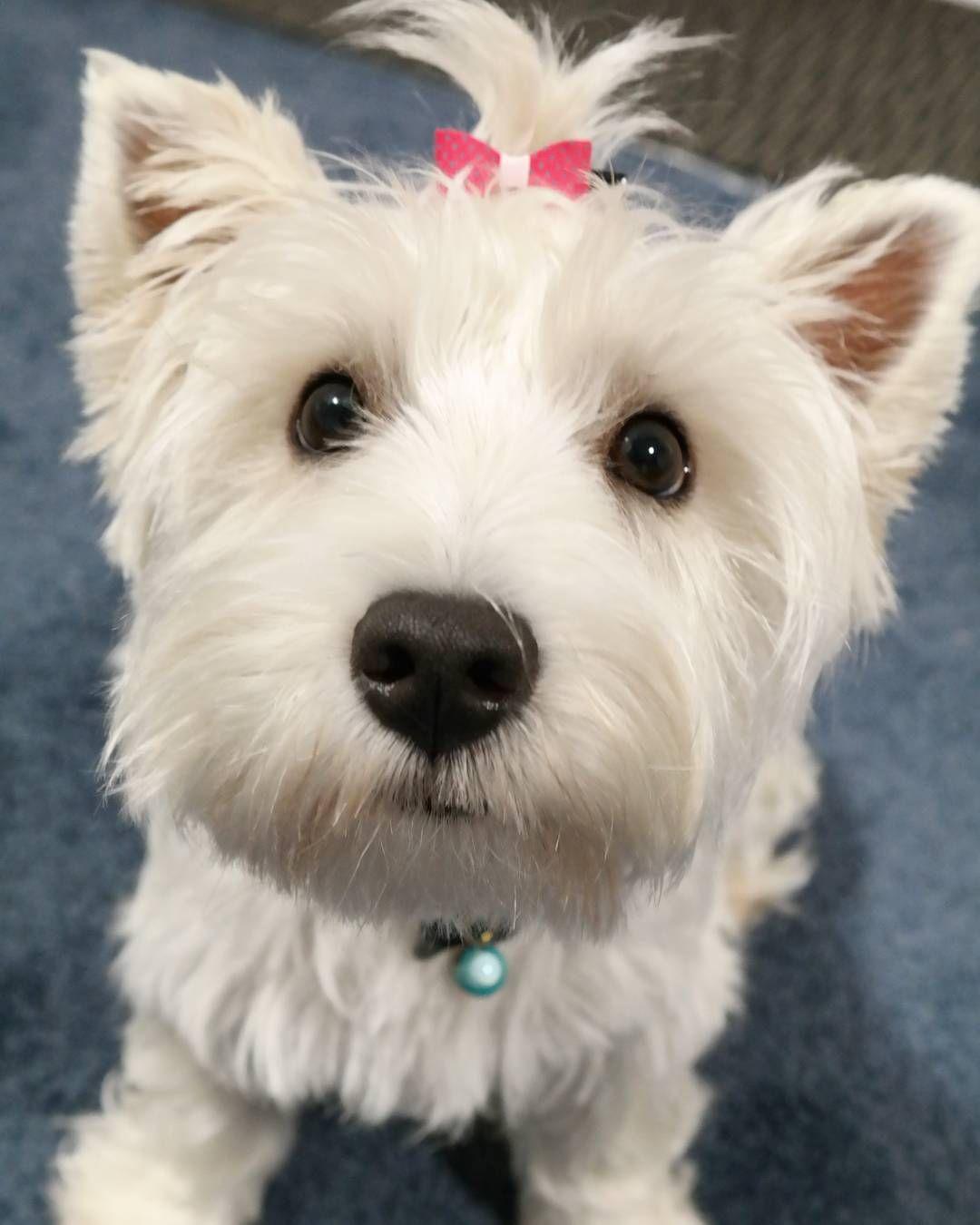 Lexy the West Highland White Terrier Westie puppies