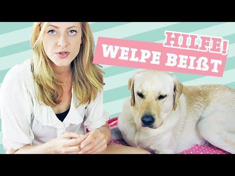 Hund Sitz Beibringen Wie Bringe Ich Meinem Hund Sitz Bei Welpe Befehl Deutsch Video Labrador Youtube Welpen Hunde Hund Sitz Beibringen