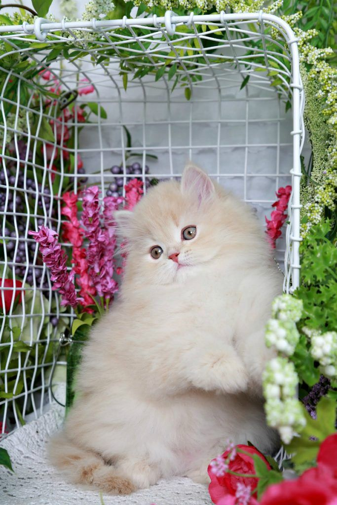 Winnie The Pooh Pastel Cream Doll Face Persian Kitten For Sale Cute Cats And Dogs Persian Cat Doll Face Persian Cat