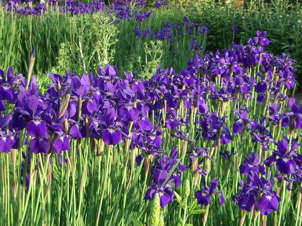 Siberian Iris Iris Sibirica Tall Grass Like Leaves Topped By