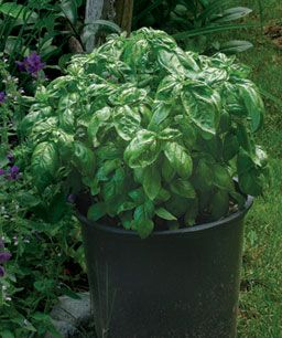 Using and Storing Culinary Herbs: Basil, lemon balm, pineapple mint, nasturtium, parsley, and lemon thyme can flavor your food in many ways during the growing season and for months to come. http://www.finegardening.com/plants/using-storing-culinary-herbs.aspx
