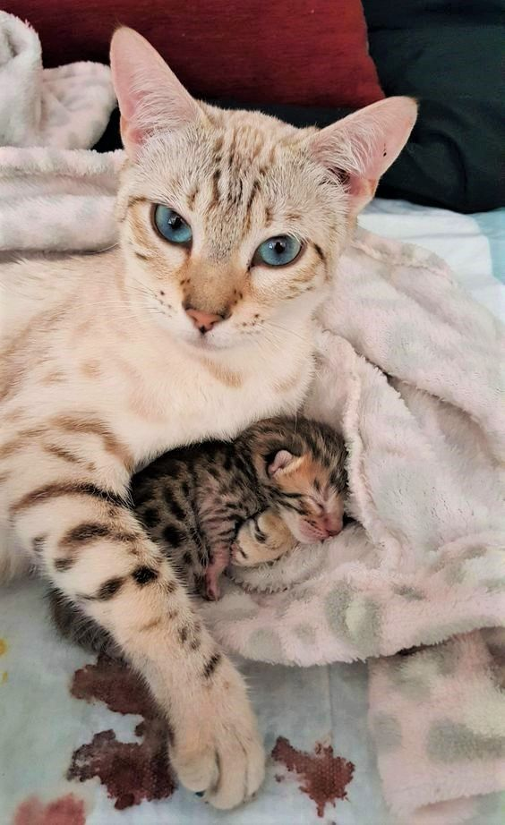 What to Know About Caring for a Bengal Cat