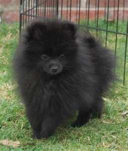 Pomeranian Puppies Black Pomeranian Puppies Pomeranian Puppy
