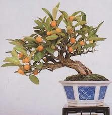 Resultado de imagen para bonsai frutales