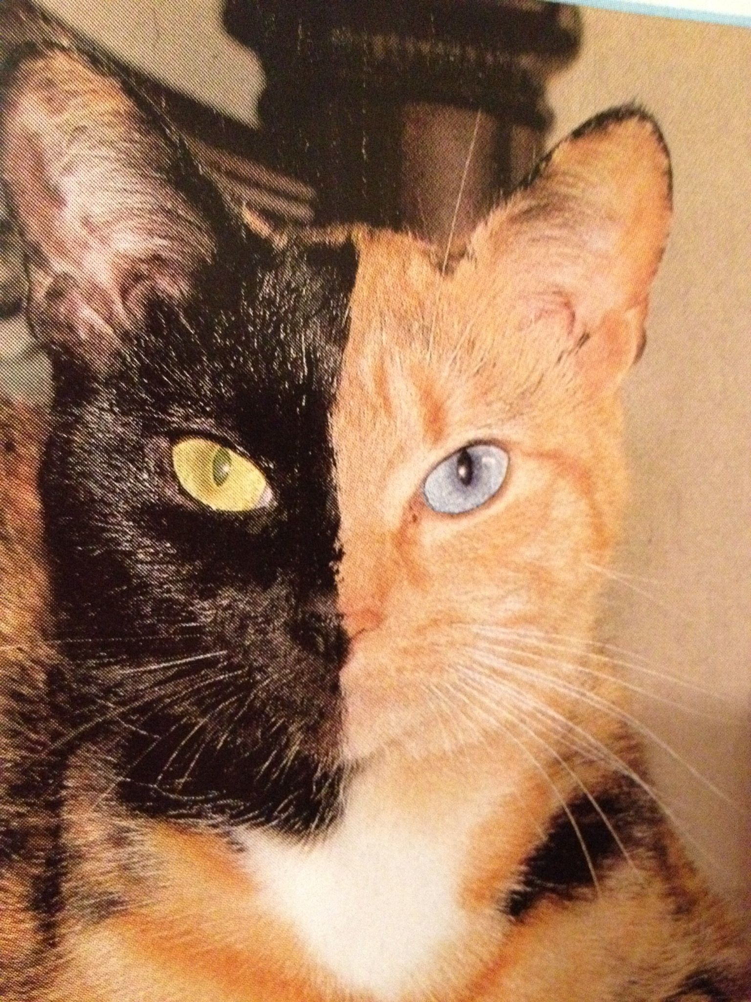 Chimera cat who was born w diff colored eyes and ...