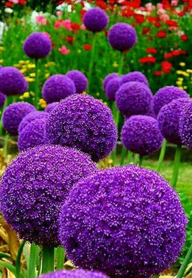 In This Border The Purple Sensation Allium Bridges The Gap Between Spring And Early Summer Flowering Perennials Onion Fiori Esotici Fiori Viola Semi Di Fiori