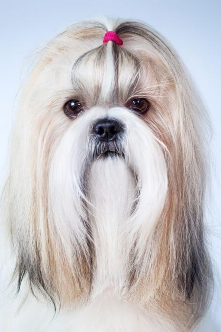 Shih Tzu Dog Handsign On Blue And White Background Shihtzu Shih Tzu Dog Shih Tzu Dogs