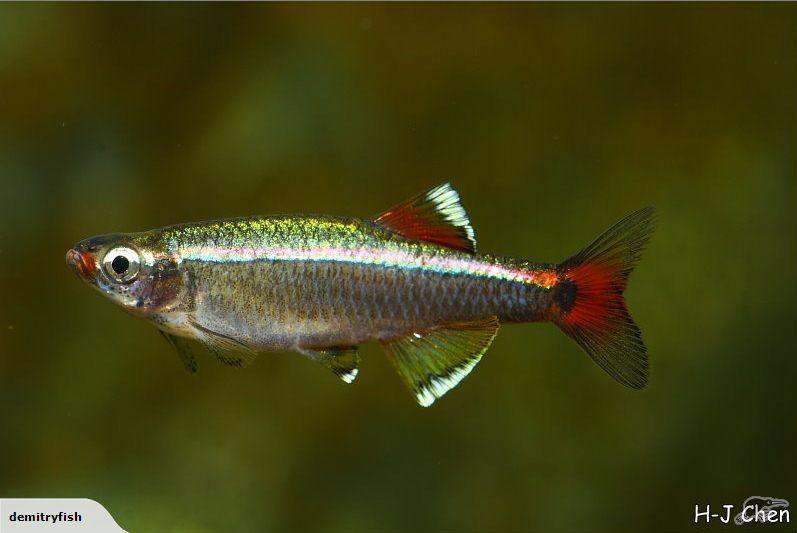 White Cloud Mountain Minnows Schoolng Fish Stocked At Demitry Nz Fish Tropical Fish Aquarium Aquarium Fish