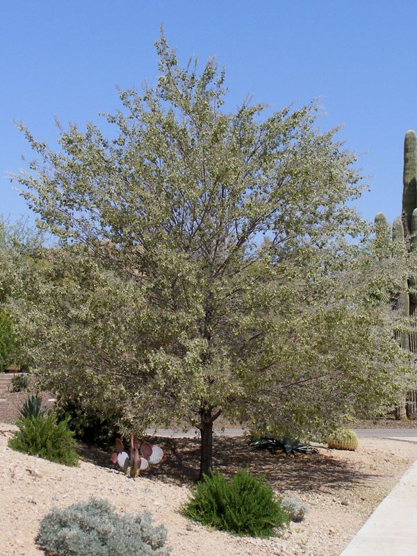 Acacia Aneura Mulga Tree My Business Shrubs Plants Garden