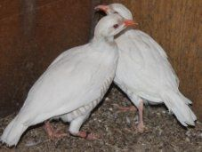 White Chukar Partridge #PurelyPoultry | Game Birds | Birds