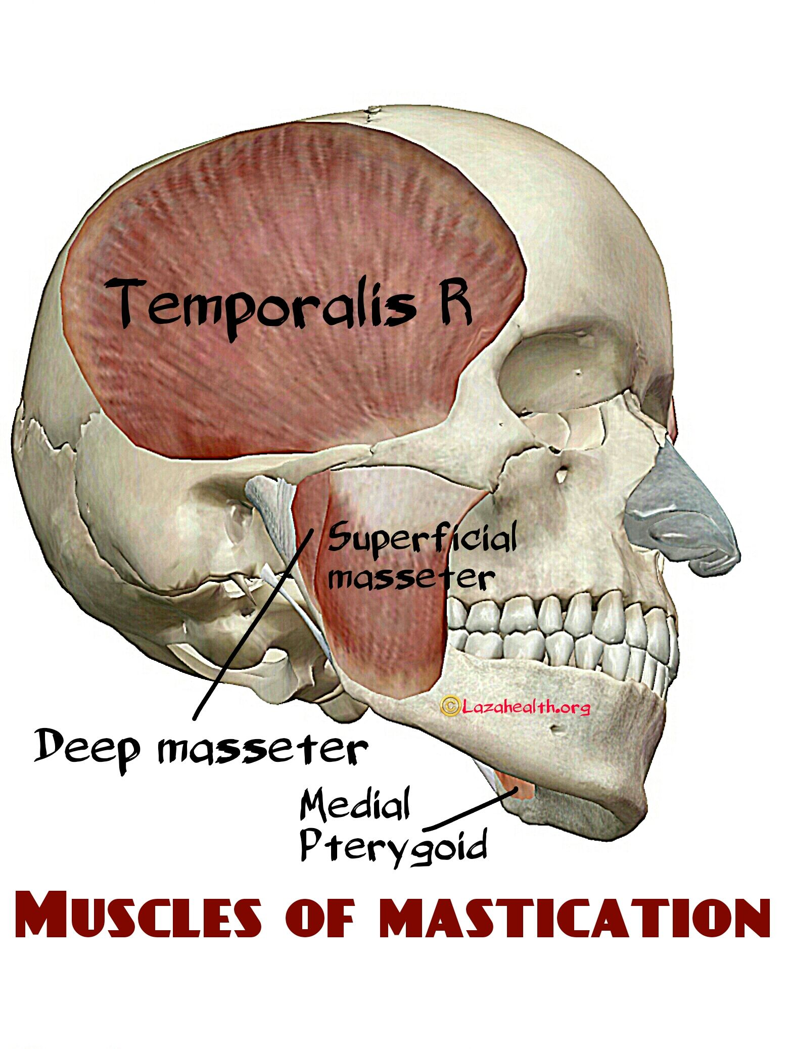 Muscles of mastication | SLP Life-Adults | Pinterest | Muscles ...