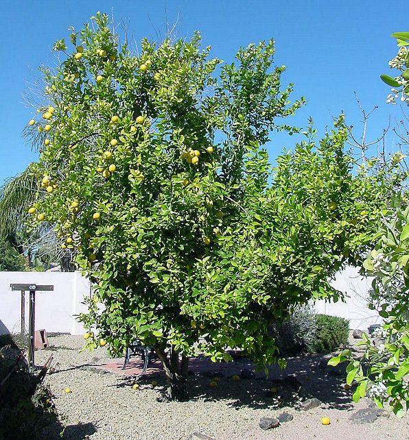 Lemon Tree. Citrus Trees. Citrus genus. Non - Xeriscape. Common Landscape Plants. Shrubs, Flowers, & Trees. For The Arizona Desert Environment. Pictures, Photos, Images, Descriptions, & Reviews.