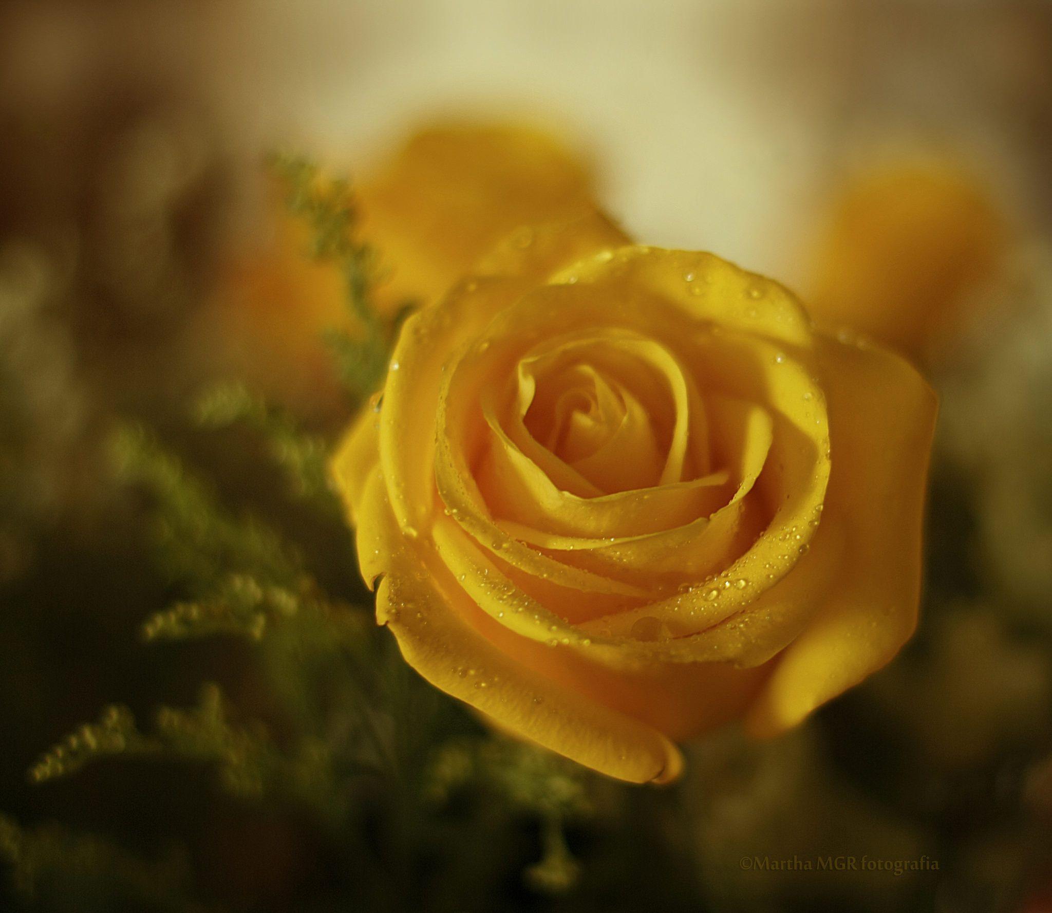 https://flic.kr/p/u9iXvb | ....simplesmente as rosas exalam, o perfume....