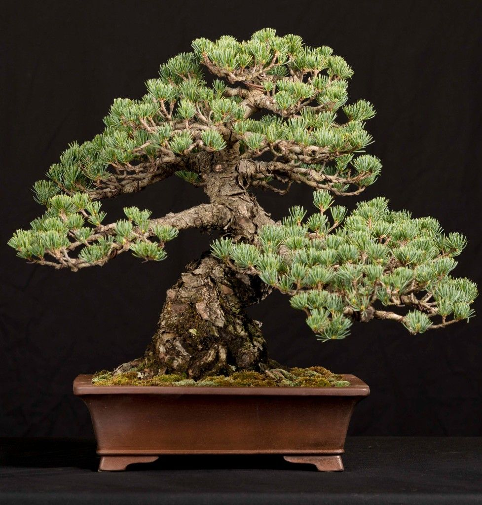 White Pine (Pinus sp.)