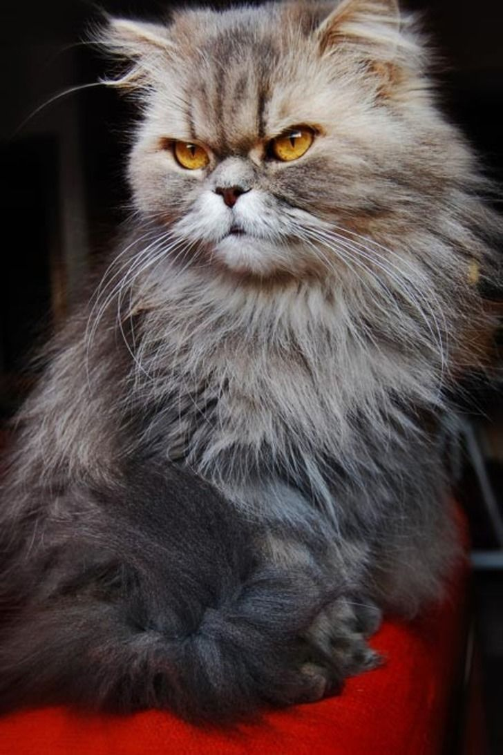 chat angora gris yeux jaunes chat persan pinterest yeux jaunes angora et jaune. Black Bedroom Furniture Sets. Home Design Ideas