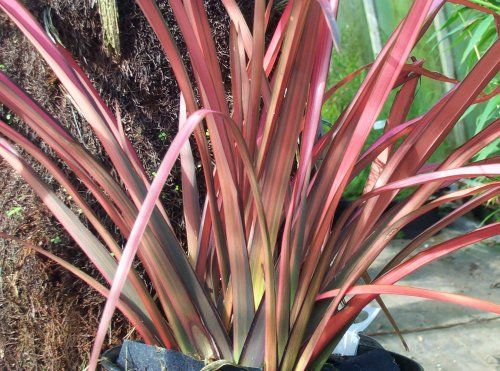 Phormium maori maiden google search friedkin final selections flowers thecheapjerseys Image collections