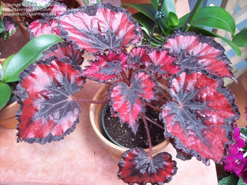 Plantfiles Picture 2 Of King Begonia Painted Begonia Painted