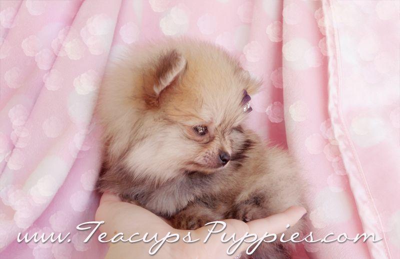 Tiny Teacup Pomeranian Puppy by