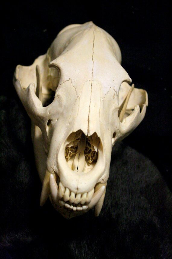 XL Black Bear Skull - Grade A, Real Bone, Teeth, Taxidermy | Aminals ...