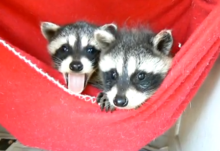 Cute of the Day: Baby Raccoons - The World of Nardio | The World ...