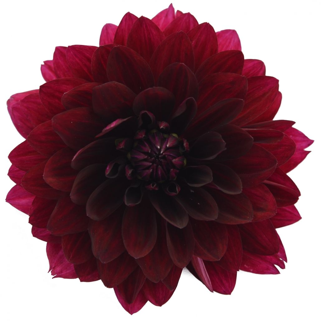 Burgundy Dahlia Doesn T Ship Well Very Seasonal Burgundy Dahlia Diy Wedding Flowers Types Of Flowers