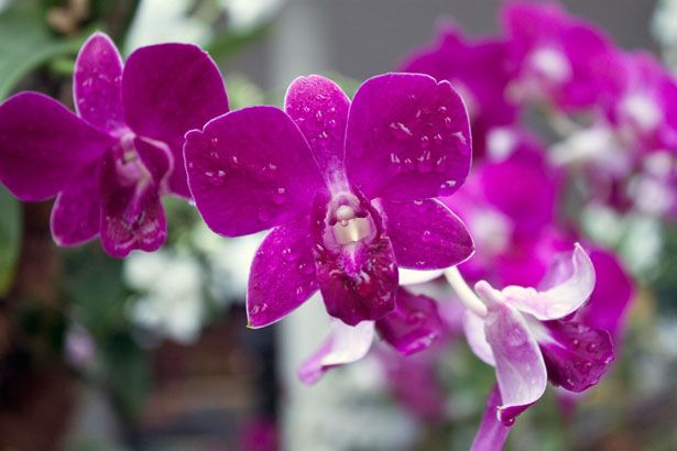 Vanda Miss Joaquim National Flower Of Singapore Orchid Flower Beautiful Orchids Orchid Photo