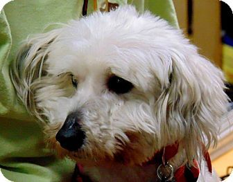 Pin By Sharon Boulanger On Found Dogs Tn Bichon Frise Maltese