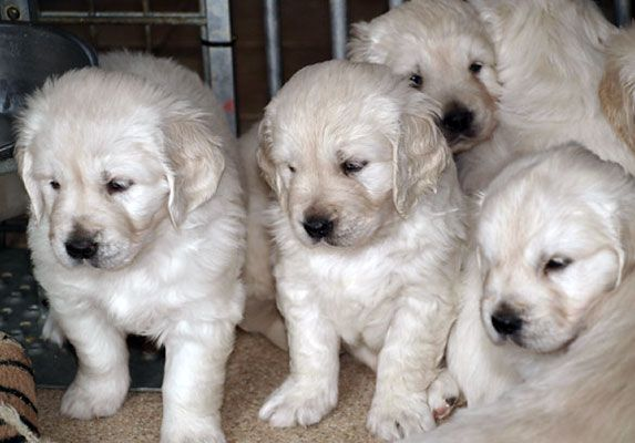 English Cream Golden Retriever Puppies Retriever Puppy Puppies