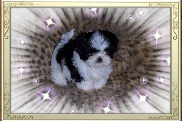 Black White Tiny Teacup Shih Tzu Puppy Puppy From Leea Knight Of Shih Tzu S By Leea Www Abreedabove Net In Illinois Shih Tzu Puppy Shih Tzu Puppies