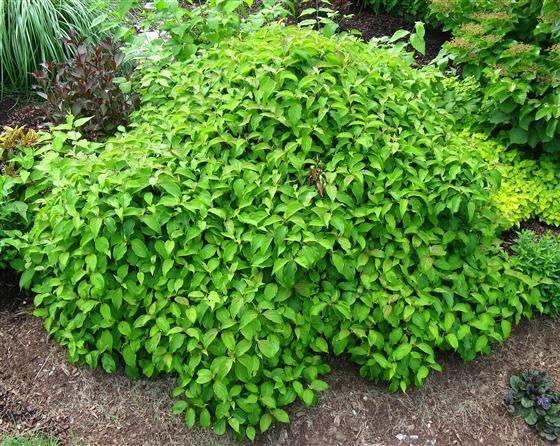 Learn2grow Bushes And Shrubs Twig Dogwood Dogwood Shrub
