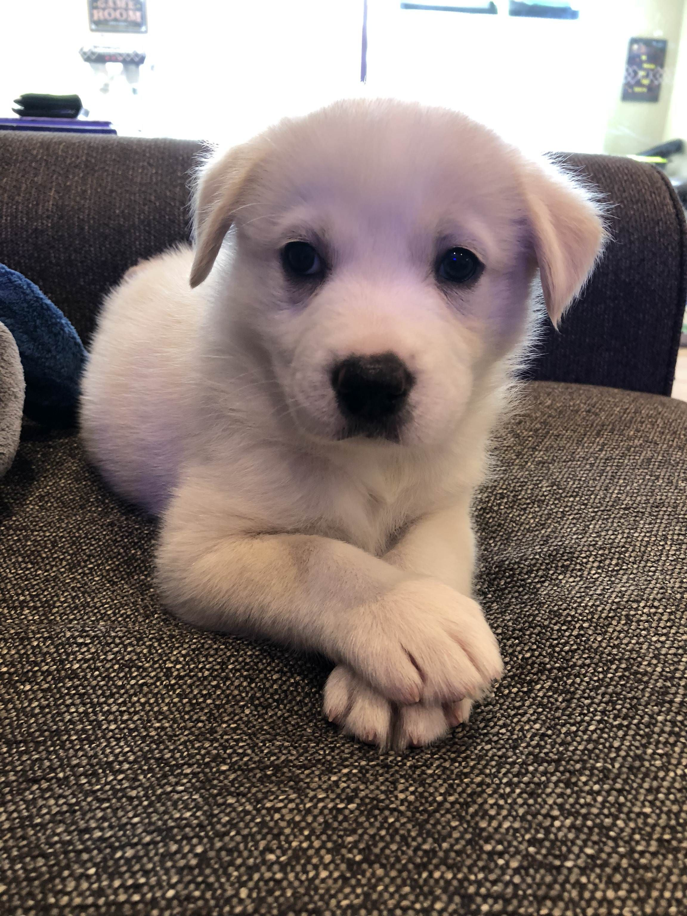 Husky Golden Retriever 6 Weeks Puppies Dogs Pets Puppy Dog