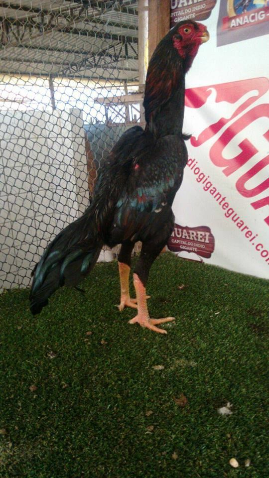 Pin by Yousif on Shamo Hähne | Chicken breeds, Game fowl, Poultry