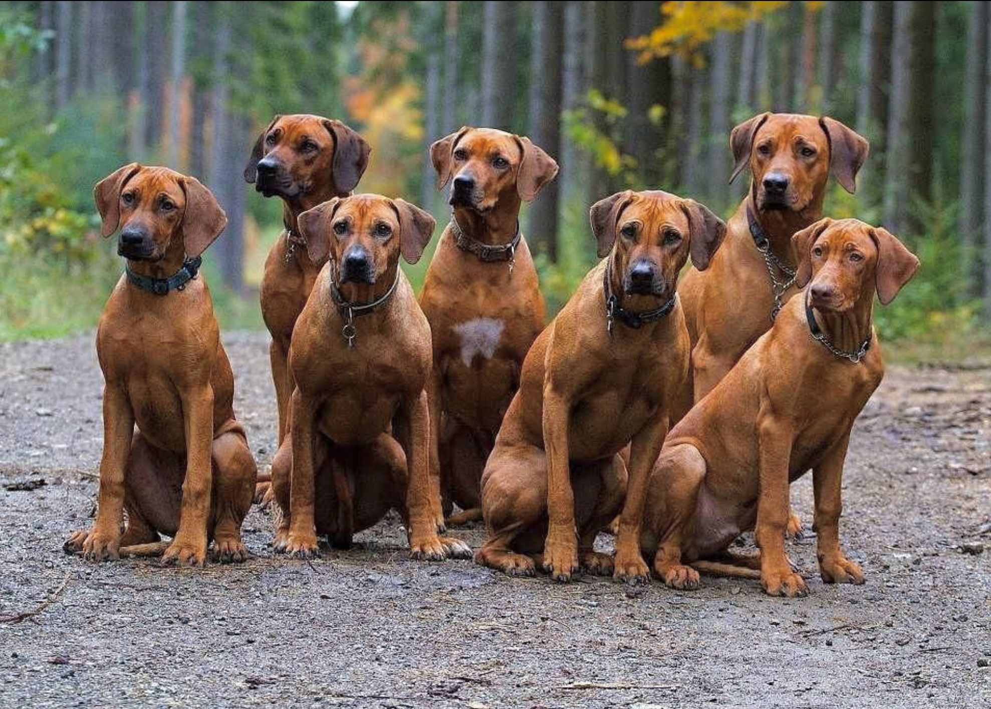 A pack of Rhodesian Ridgebacks that miraculously are all ...