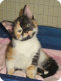 Elizabeth City Nc Calico Meet Reena A Kitten For Adoption Kitten Adoption Pet Adoption Pets