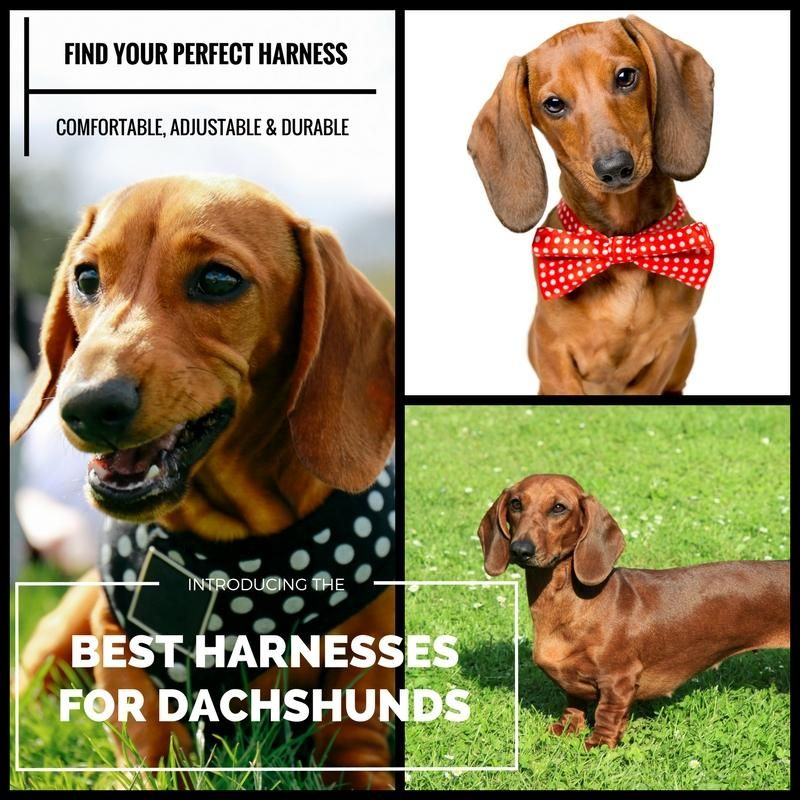 The Best Dachshund Harness (Top 5 Picks in 2018!) Dog