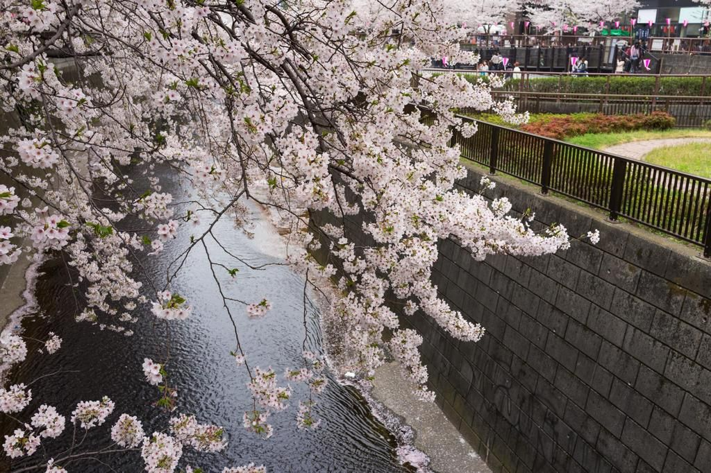 Japan Cherry Blossom 2021 Forecast The Dates Top 10 Best Places To See Cherry Blossoms In Japan Living Nomads Travel Tips Guides News Information Cherry Blossom Japan Blossom Cherry Blossom