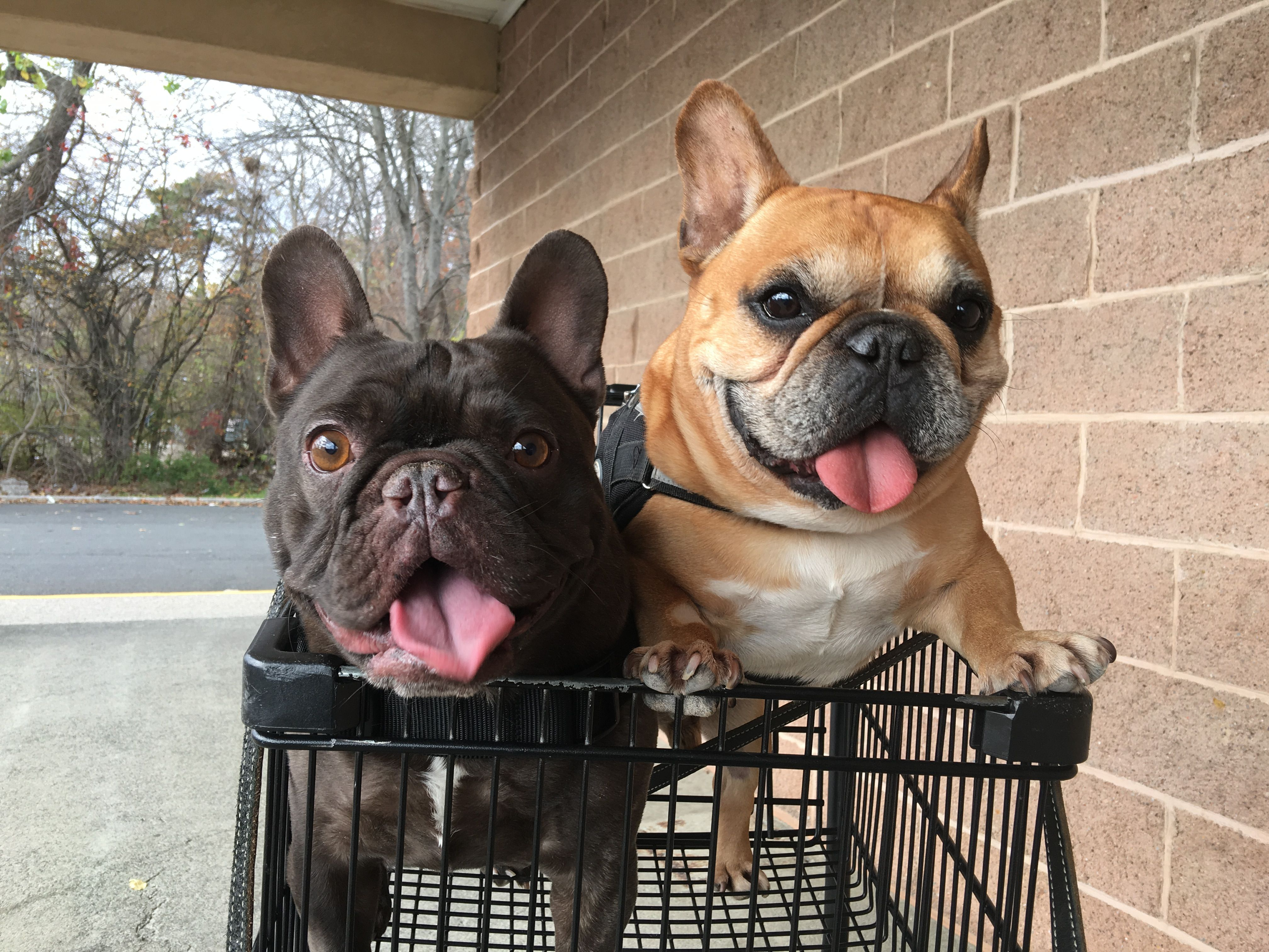 French Bulldogs A Joy Riding In A Shopping Cart French Dogs