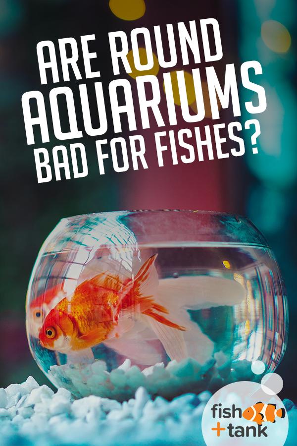 Are Round Aquariums Bad For Fish Fish Tank Fish Pet Fish Fish Tank
