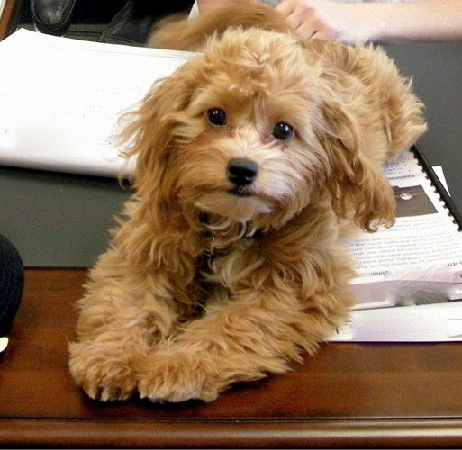 Cutest cavapoo! | Favorite cavapoos | Pinterest