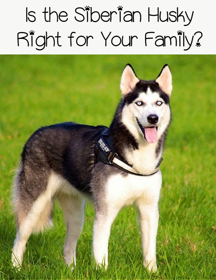 Siberian Huskies Does The Breed Fit Your Family Dog Breeds