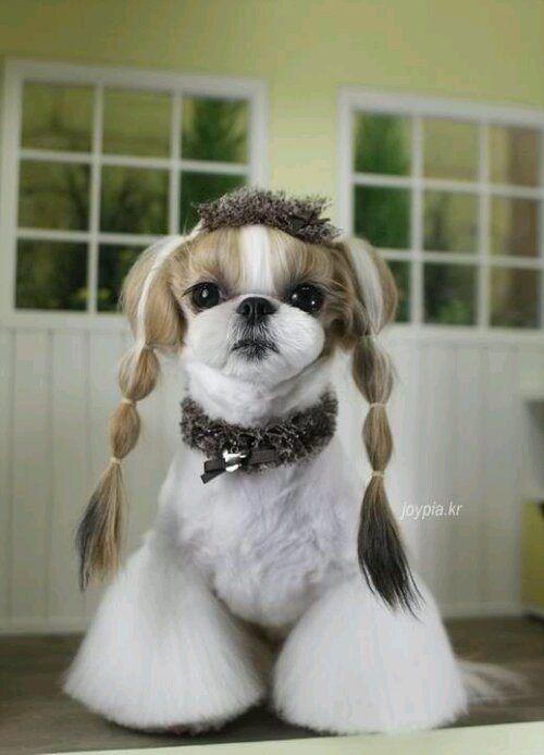 Korean Style Grooming Funkypuppy Dog Grooming Styles Shih Tzu Grooming Dog Grooming