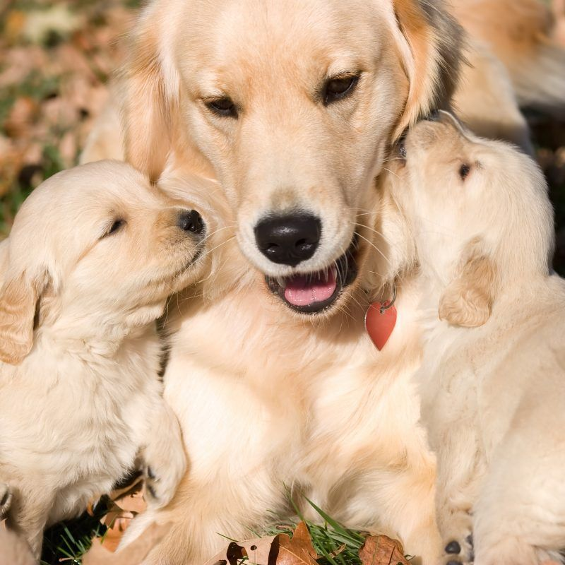 How To Clean Your Dog S Ears Dogs Golden Retriever Golden