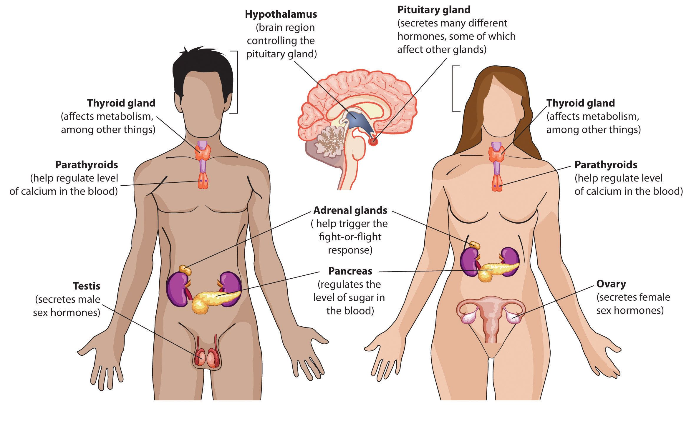 endocrine system diagram pdf | Science - Biology ☣ | Pinterest ...