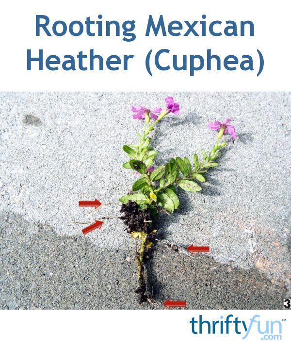 Growing Mexican Heather Cuphea Plants Heather Gardens Backyard Plants