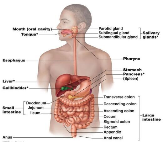 Digestive organ location in the human body - Anatomy Note www ...